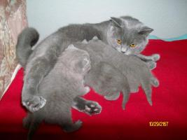 Foto 2 süße, reinrassige BKH-Kitten im klassichen Blau