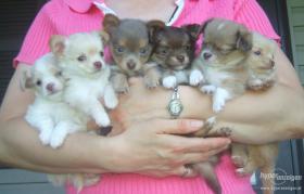 süßen Chihuahua-Welpen
