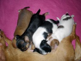Foto 3 süßen Chihuahua-Welpen