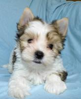 süssen kleinen Rüde White Ocean Pearl Yorkshire Terrier