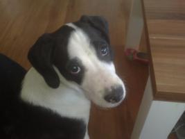süsser boxer Labrador mix