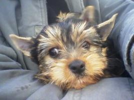 süßer yorkshire terrier welpe, rüde, reinrassig, sucht neues zu hause