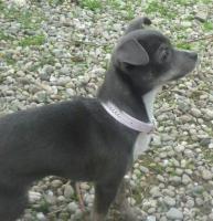 Foto 2 süßes Chihuahuamädchen