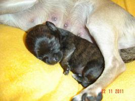 super süße Chihuahua mit Papieren (Ahnentafel) auf VB