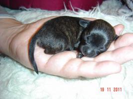 Foto 2 super süße Chihuahua mit Papieren (Ahnentafel) auf VB