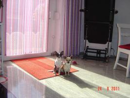 Foto 7 super süße Chihuahua mit Papieren (Ahnentafel) auf VB