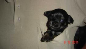 Foto 9 super süße Chihuahua mit Papieren (Ahnentafel) auf VB