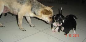 Foto 12 super süße Chihuahua mit Papieren (Ahnentafel) auf VB
