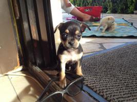 Foto 3 super süsse Chihuahua Welpen