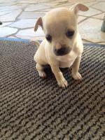 Foto 4 super süsse Chihuahua Welpen