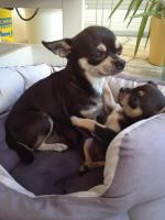 Foto 5 super süsse Chihuahua Welpen