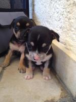 Foto 6 super süsse Chihuahua Welpen