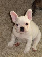super süße Französische Bulldogge, Hündin in weiß...