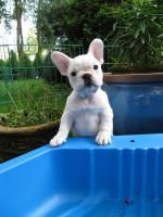 Foto 2 super s��e Franz�sische Bulldogge, H�ndin in wei�...