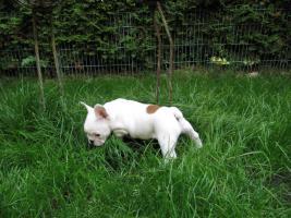 Foto 3 super süße Französische Bulldogge, Hündin in weiß...