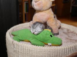 Foto 4 super verschmuste Perserbabys suchen neues Zuhause