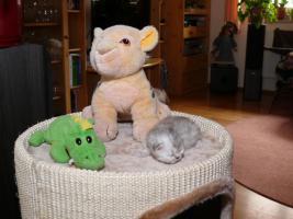 Foto 5 super verschmuste Perserbabys suchen neues Zuhause