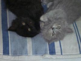 supersüße Britisch Highland Kitten - Katzenbabies