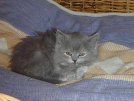 Foto 2 supersüße Britisch Highland Kitten - Katzenbabies