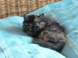 Foto 4 supersüße Britisch Highland Kitten - Katzenbabies