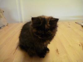 Foto 5 supersüße Britisch Highland Kitten - Katzenbabies