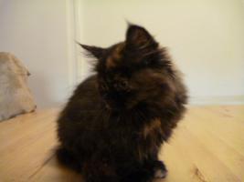 Foto 6 supersüße Britisch Highland Kitten - Katzenbabies