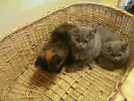 Foto 10 supersüße Britisch Highland Kitten - Katzenbabies