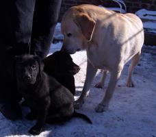Foto 5 supersüsse Labradorwelpen mit Papieren in choco, gelb und schwarz