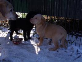 Foto 7 supersüsse Labradorwelpen mit Papieren in choco, gelb und schwarz