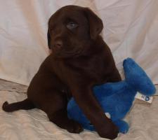 Foto 2 supersüsse Labradorwelpen in choco und schwarz, Wohnzimmeraufzucht