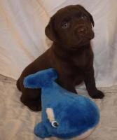 Foto 3 supersüsse Labradorwelpen in choco und schwarz, Wohnzimmeraufzucht