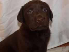 Foto 4 supersüsse Labradorwelpen in choco und schwarz, Wohnzimmeraufzucht