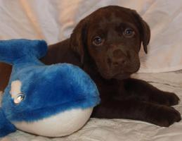 Foto 5 supersüsse Labradorwelpen in choco und schwarz, Wohnzimmeraufzucht