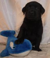 Foto 6 supersüsse Labradorwelpen in choco und schwarz, Wohnzimmeraufzucht