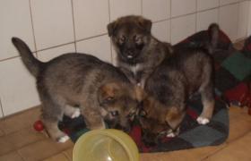 Foto 4 supersüsse Welpen Schäferhund-Husky-Mix