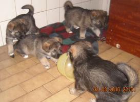Foto 5 supersüsse Welpen Schäferhund-Husky-Mix