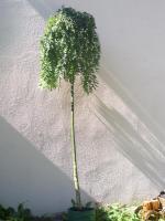 Foto 2 thujen -hainbuchen  ca 80 cm a 3 €