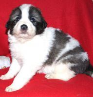 Foto 4 tornjak puppies