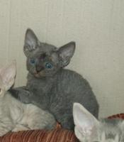 typvolle Devon Rex Kitten