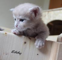 Foto 3 typvolle Maine Coon Kitten mit Papieren