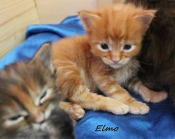 Foto 5 typvolle Maine Coon Kitten mit Papieren
