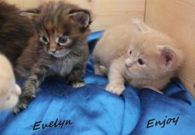 Foto 6 typvolle Maine Coon Kitten mit Papieren