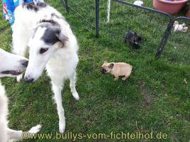 Foto 3 unsere Taluna Franz. Bulldoggen, WElpe, sucht ein schönes Sofa