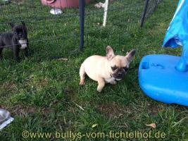 Foto 4 unsere Taluna Franz. Bulldoggen, WElpe, sucht ein schönes Sofa