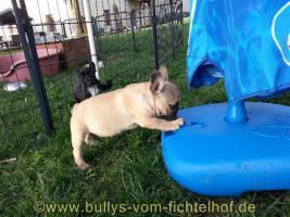 Foto 5 unsere Taluna Franz. Bulldoggen, WElpe, sucht ein schönes Sofa