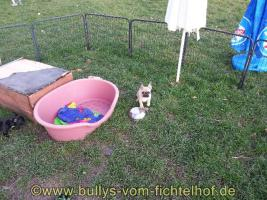Foto 6 unsere Taluna Franz. Bulldoggen, WElpe, sucht ein schönes Sofa