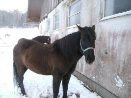 Foto 2 vergebe reitbeteiligung auf huzulen pferde