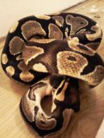 Foto 2 verk python regius von 09, und kornnattern 2010