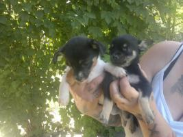 verkaufe 10 wochen alte chihuahua-terriermix