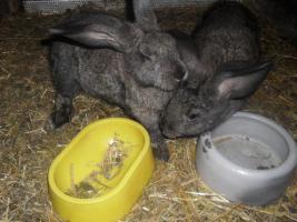 Foto 2 verkaufe meine Hasen wegen ausbildung Da ich keine zeit mer habe